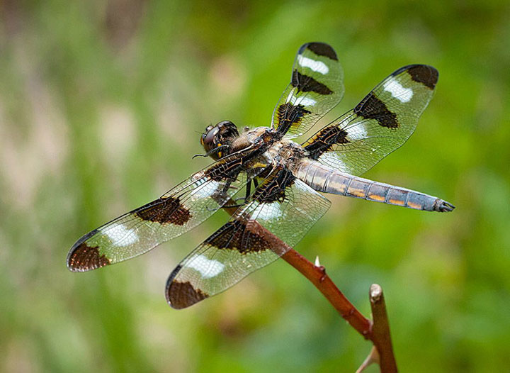 Image of dragonfly showing Rorschach pattern