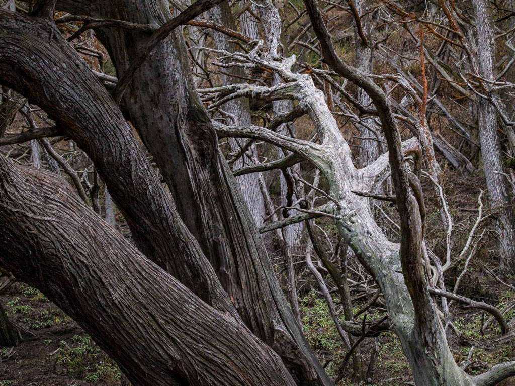 Image of Point Lobos cypress forest photo by Charles Cramer