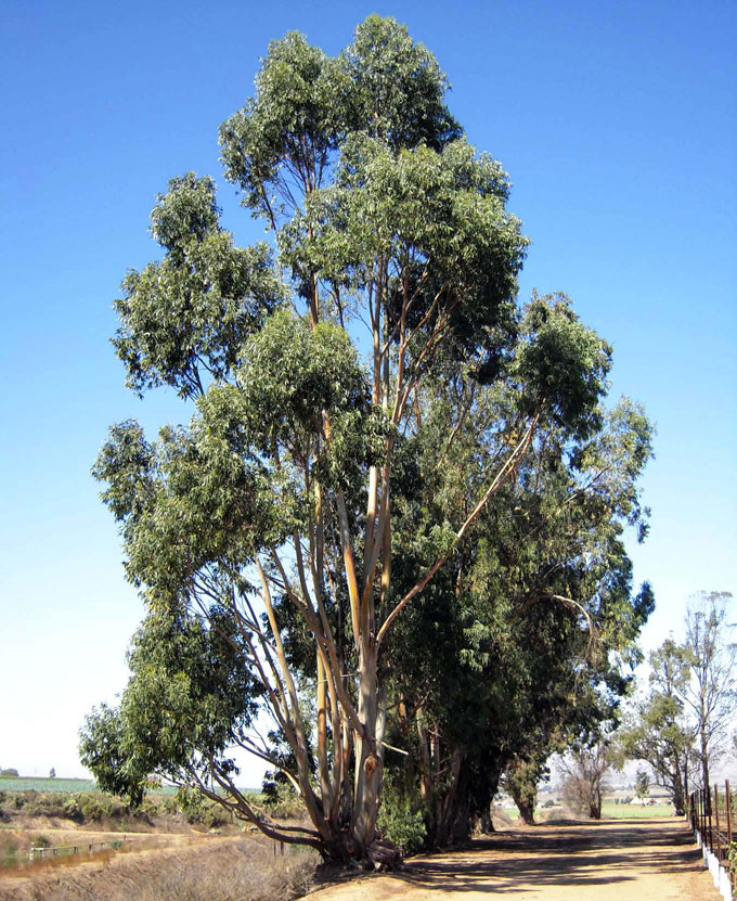 Image of eucalyptus windbreak near Greenfield by David A. Laws