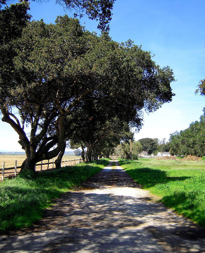 Image of live oaks on Salinas ranch by David A. Laws