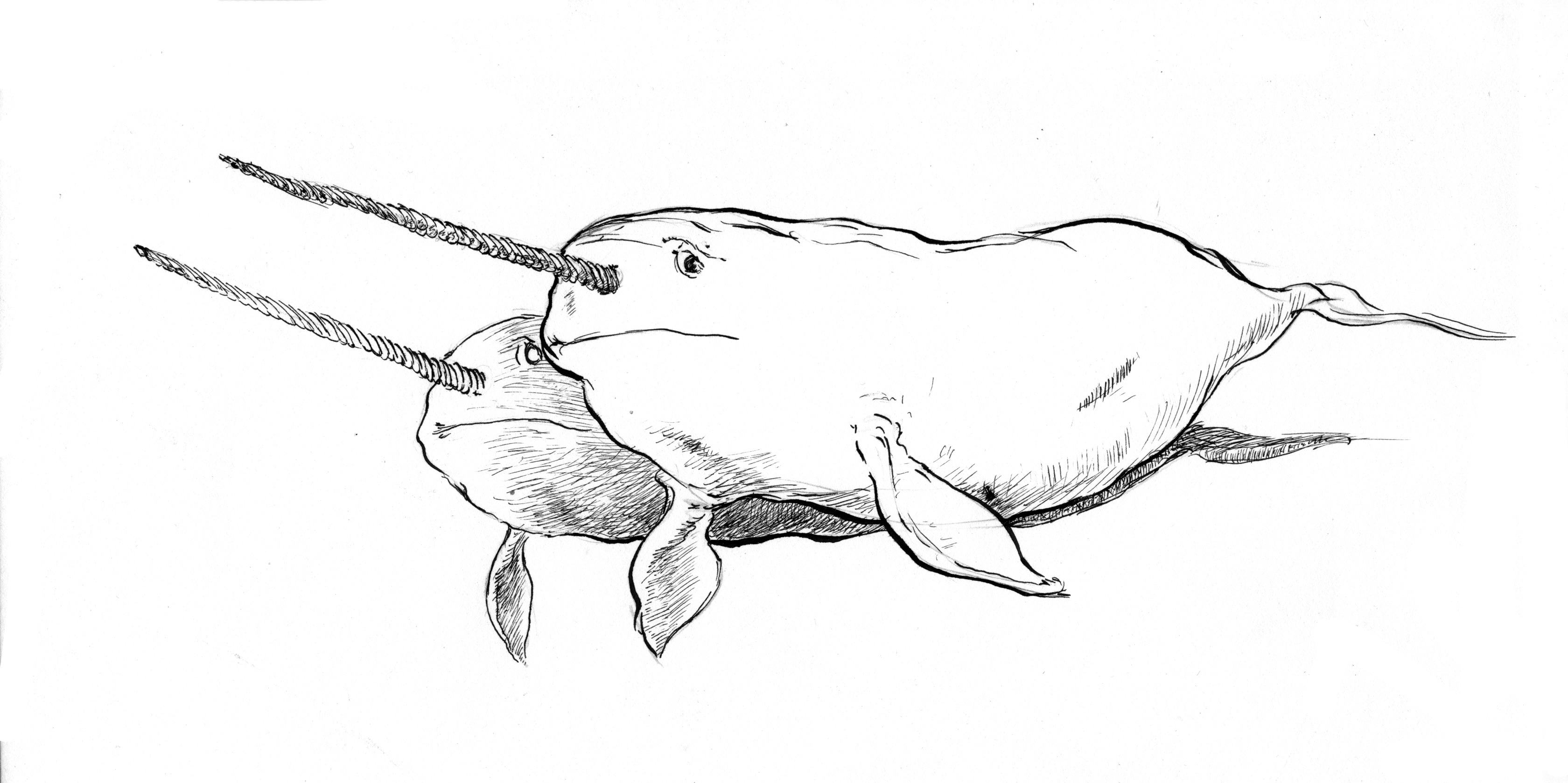 Image of a Joust of Narwhals