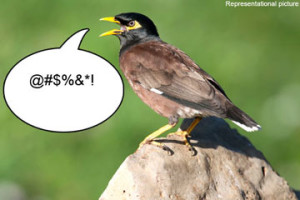 Representational image of myna bird