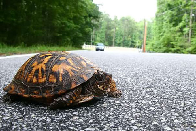 Images of turtle crossing road